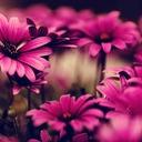 Flowers pink flowers wallpaper hd