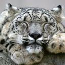 Snow leopard 1