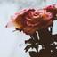 secrets & roses