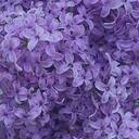 witheringlilac