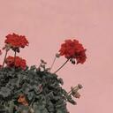 Masked Rose